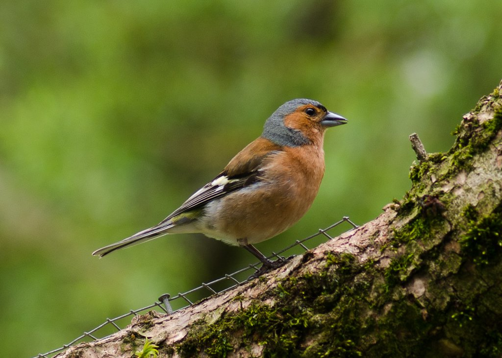 Common chaffinch - 2-05 by barrowlane