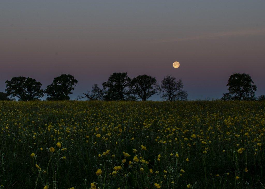 Buttercup moon 15-05 by barrowlane