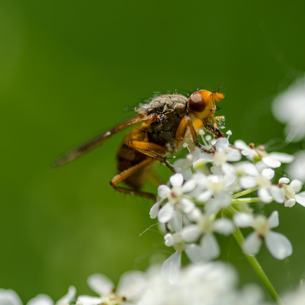 Fly on cow parsley - 17-05 by barrowlane