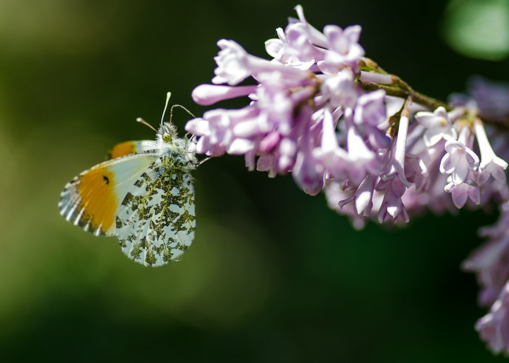 Orange tip - 18-05 by barrowlane
