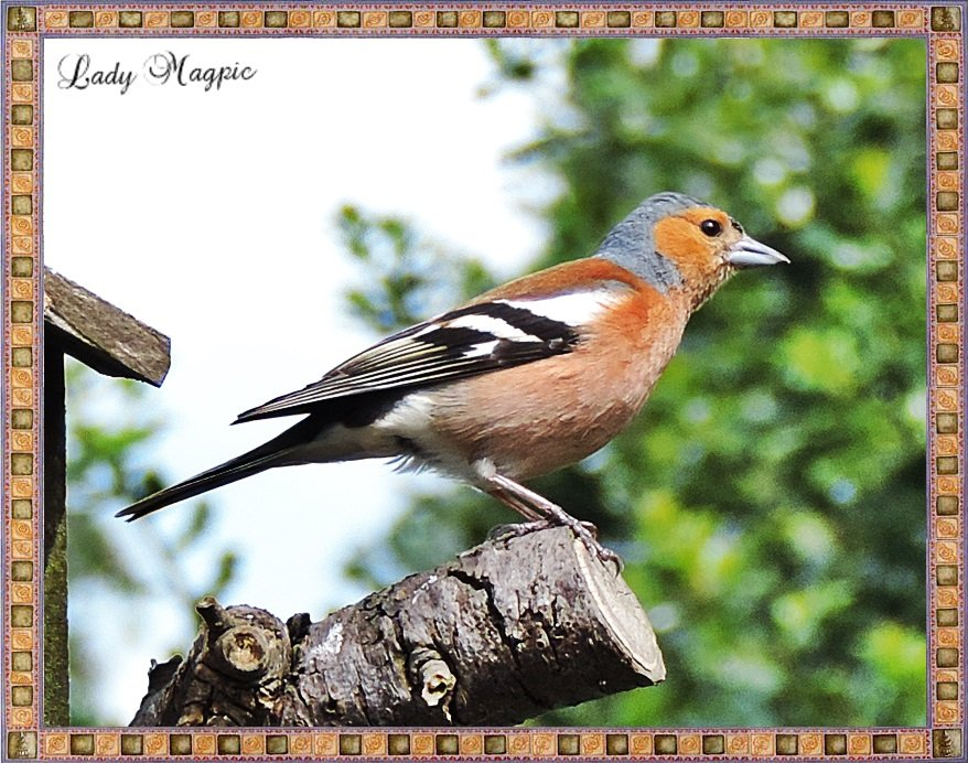 Male Chaffinch. by ladymagpie