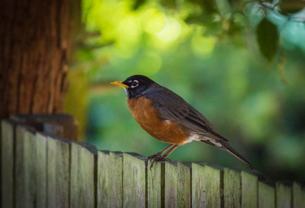 Friday Robin by princessleia