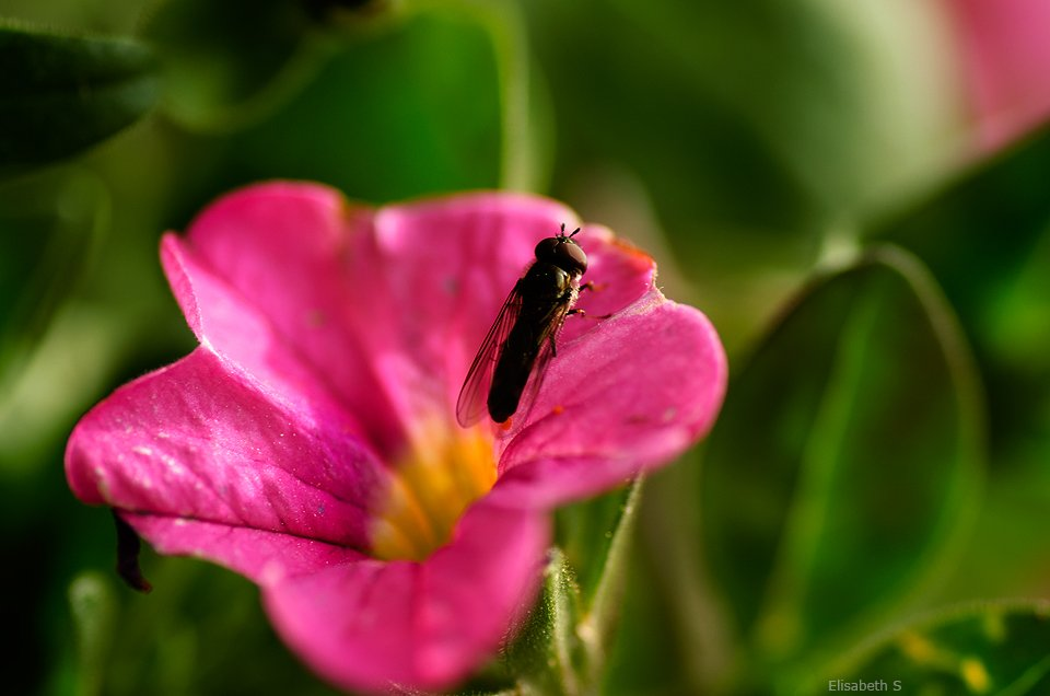 Pink flower with insect by elisasaeter