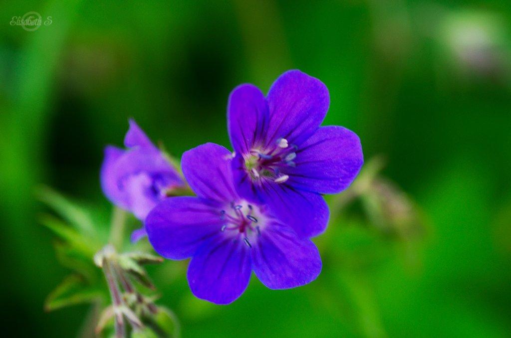 Woodland geranium by elisasaeter