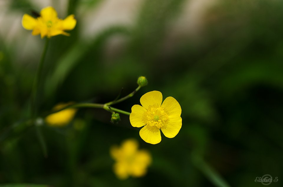 Buttercup by elisasaeter