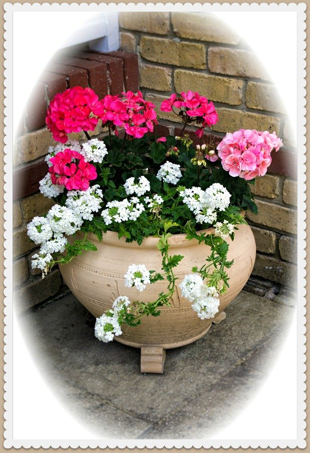 Geraniums by the front door by ivan