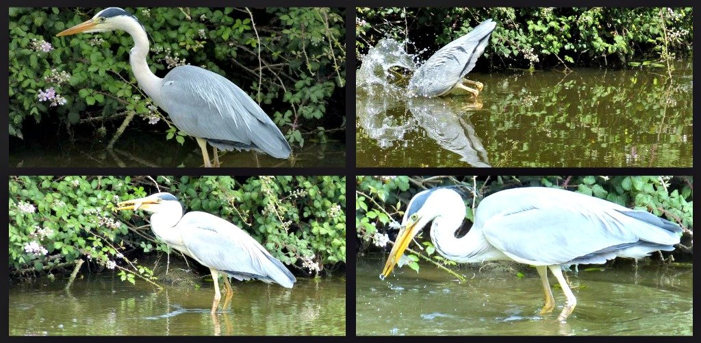Heron captures fish  by snoopybooboo