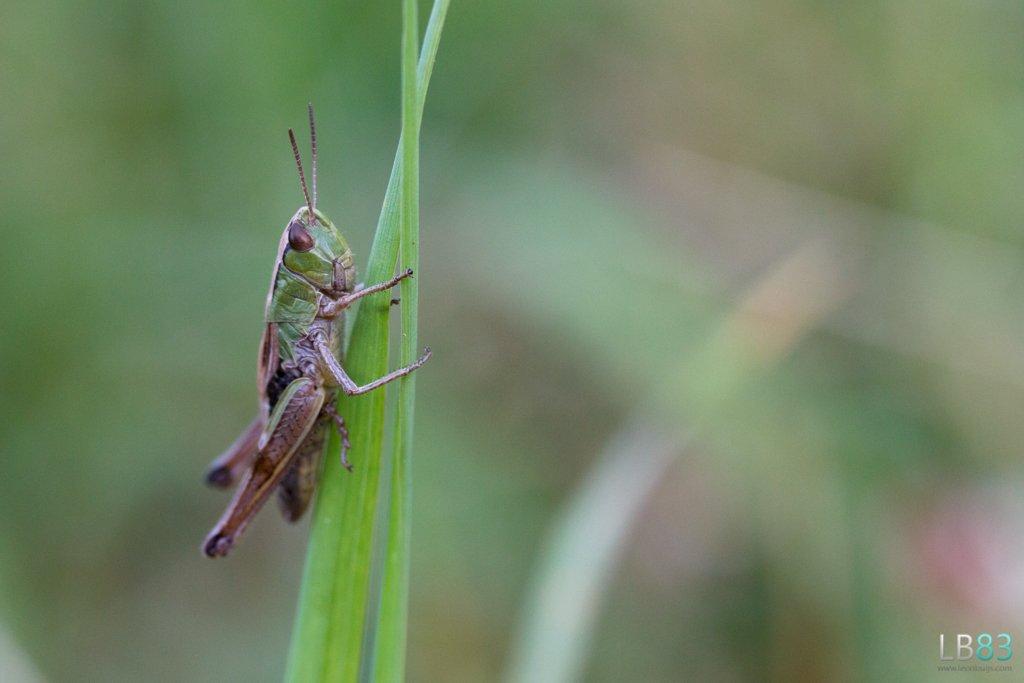 Grasshopper by leonbuys83