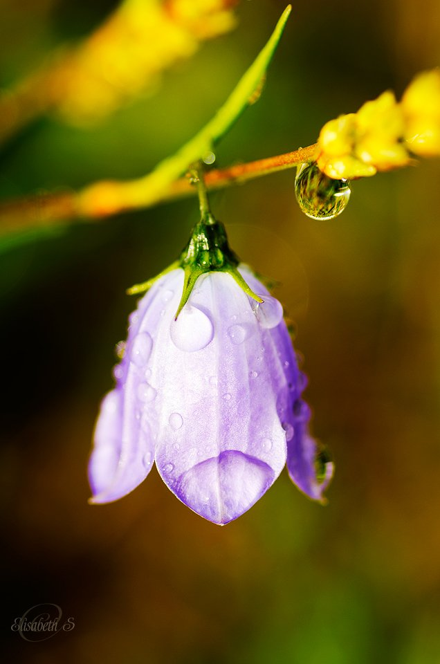 Bluebell with drops by elisasaeter