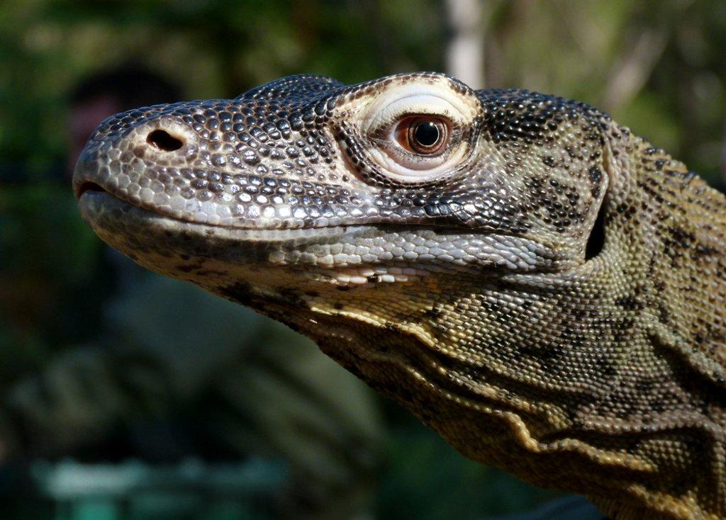 Komodo Dragon by onewing