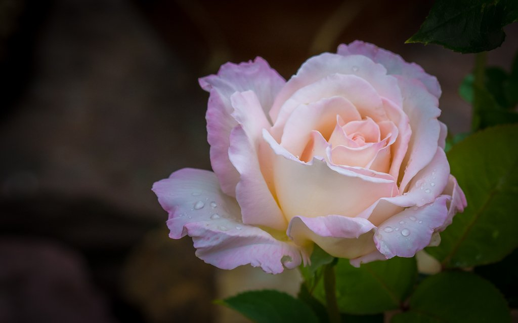 The Obligatory Rose with Raindrops... by vignouse