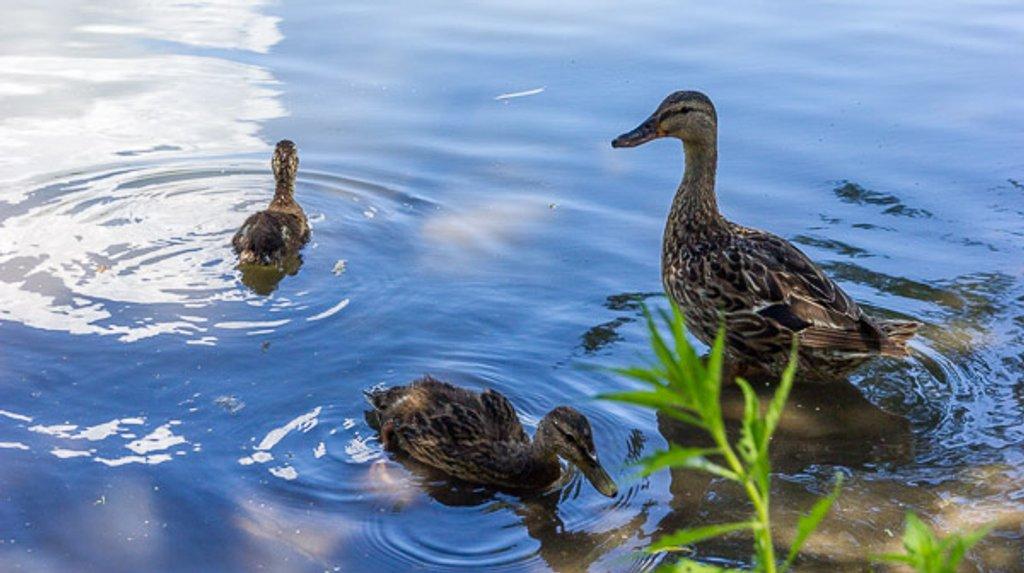 Quackers by ukandie1