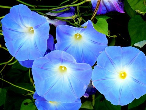 Glorious Morning Glory by rrt