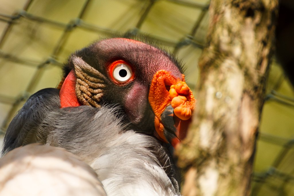 King Vulture by leonbuys83