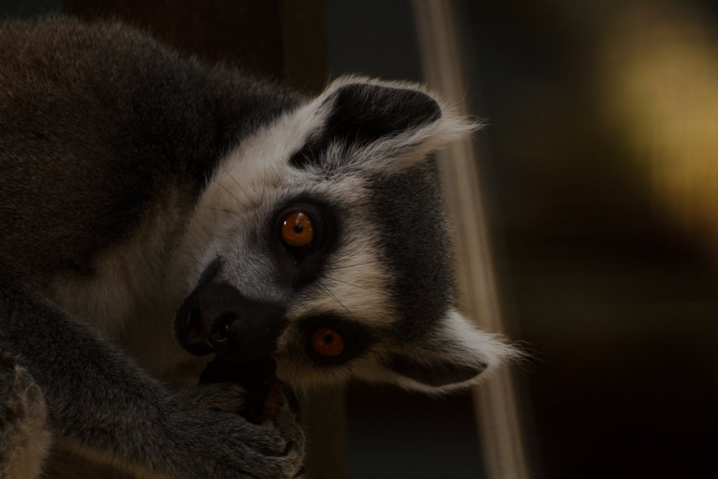 Ring-Tailed Lemur by leonbuys83