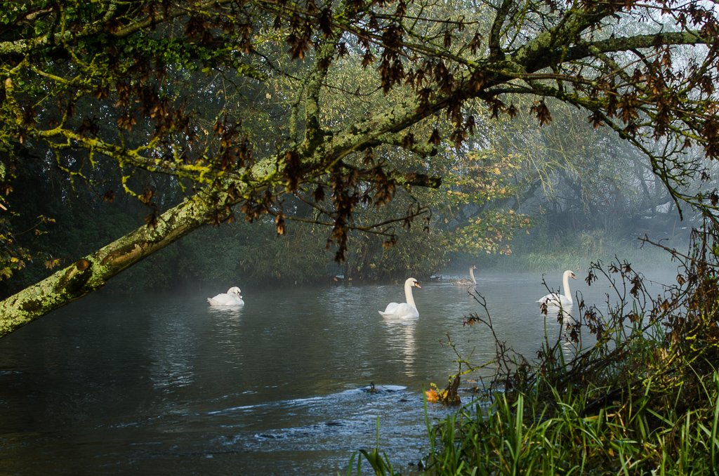 Swans in the morning - 4-10 by barrowlane