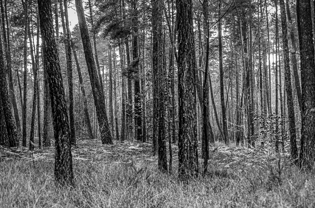 Pine Trees by vignouse