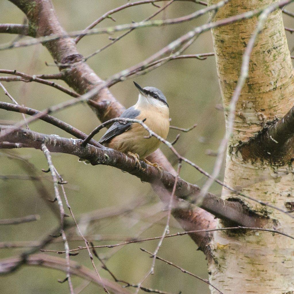 Nuthatch in tree - 21-11 by barrowlane