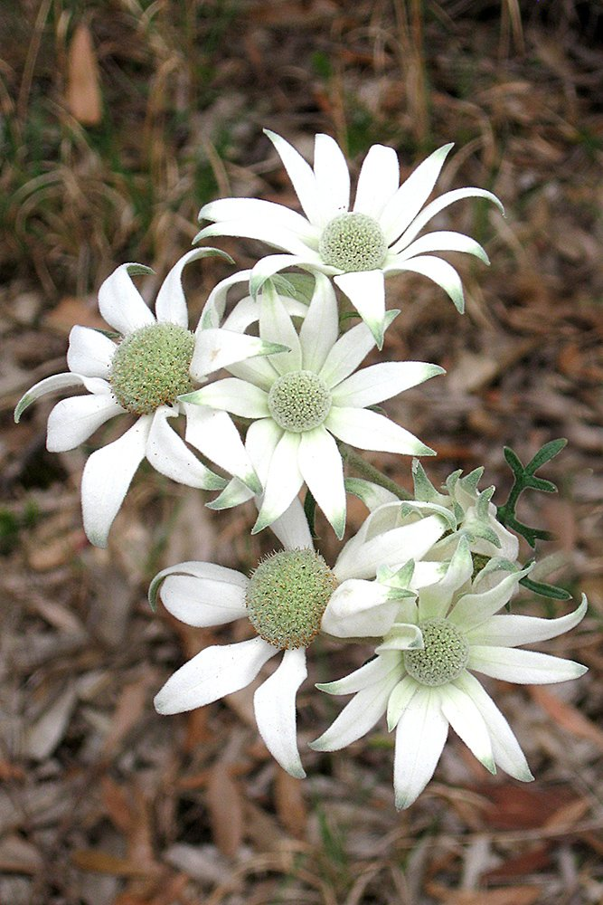 Flannel Flower by onewing