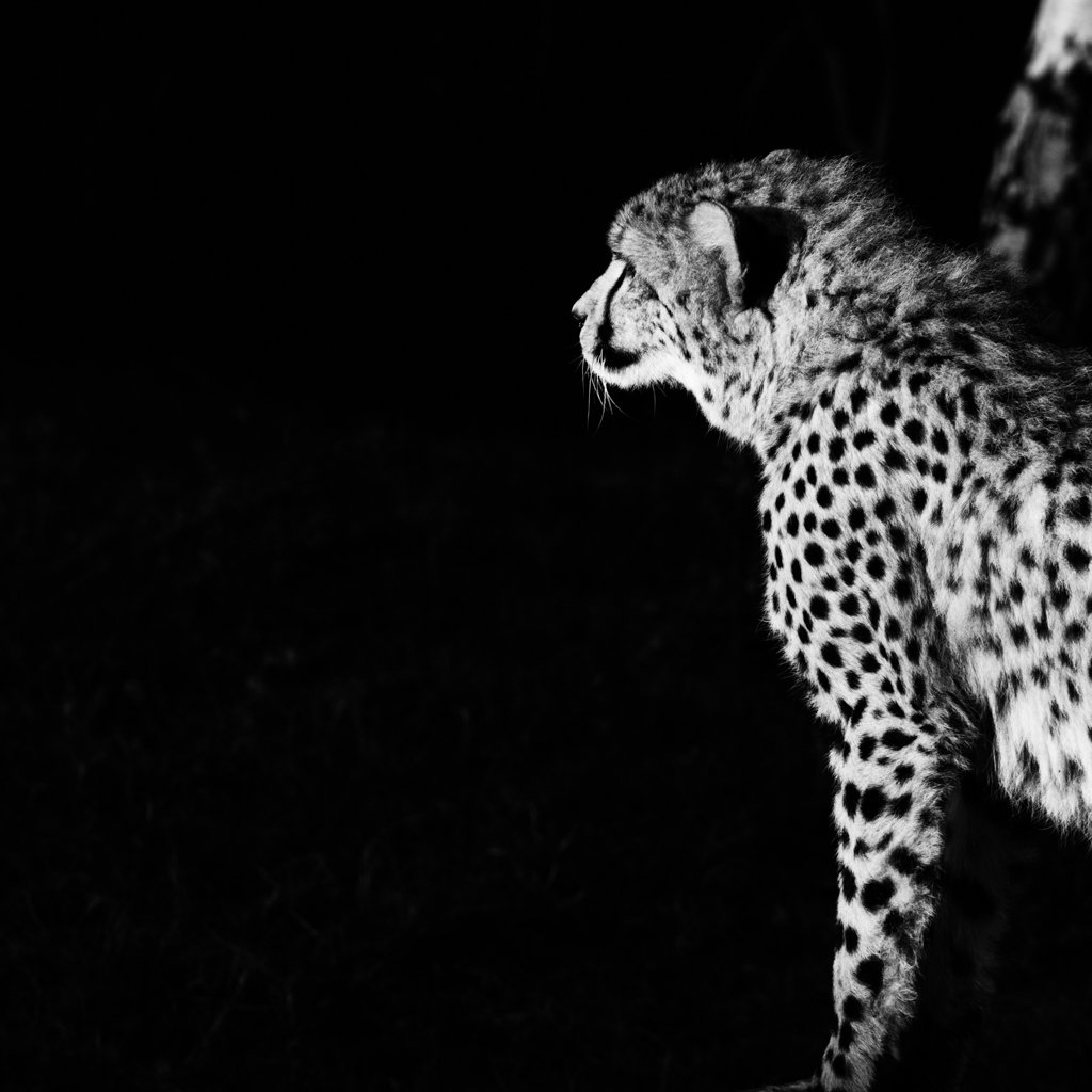 Cheetah in b&w by leonbuys83