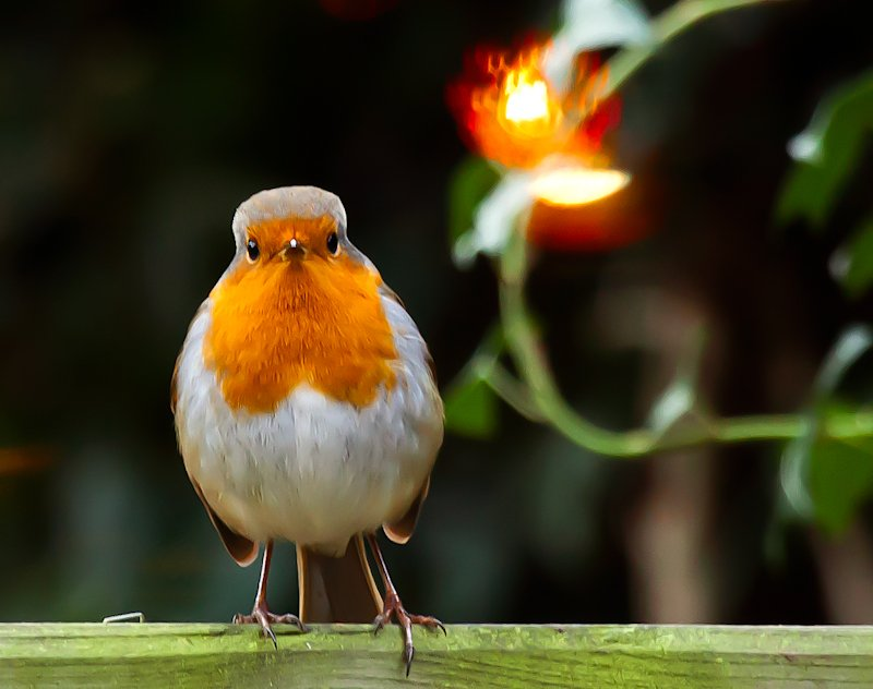 26th December 2014 - Christmas Robin by pamknowler