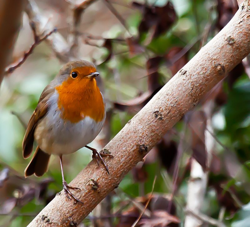 29th December 2014 - My little Robin - again!! by pamknowler