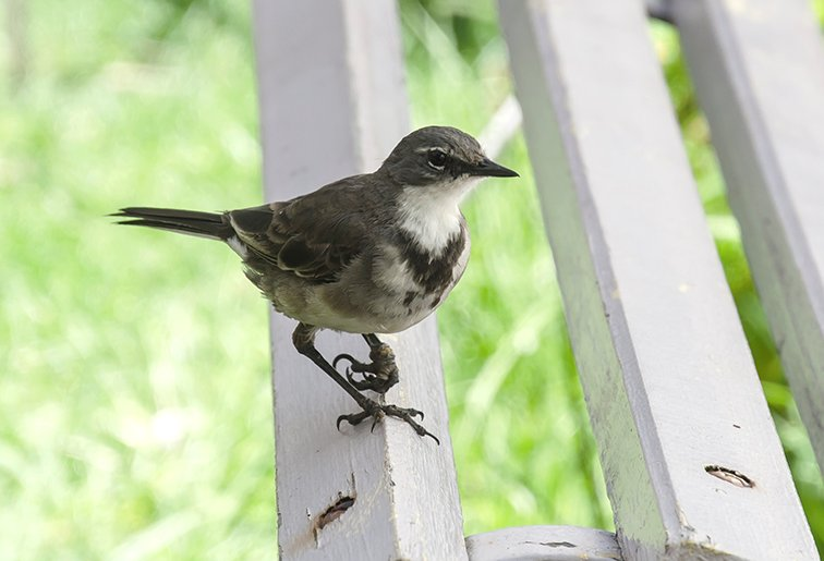 Cape Wagtail by salza