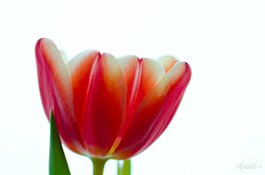 Tulip 2 by elisasaeter
