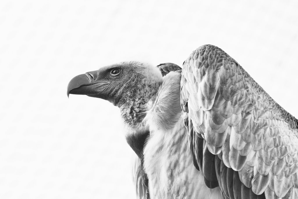 Vulture in b&w by leonbuys83