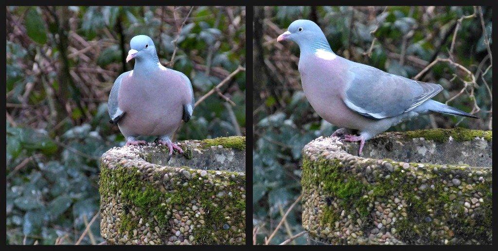 Pigeon On A Litter Bin by snoopybooboo