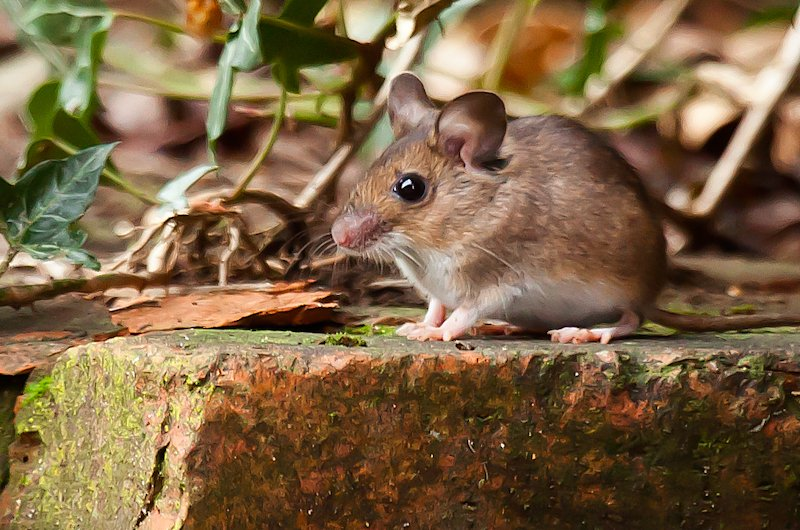 22nd February 2015 - My little Mouse by pamknowler