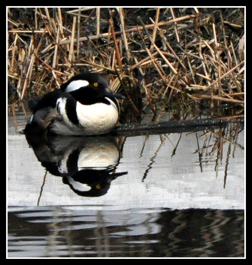 The hooded mergansers are back. by sailingmusic