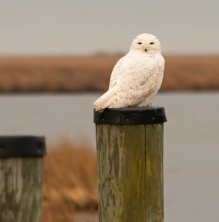 My first ever snowy owl, ever! by shesnapped