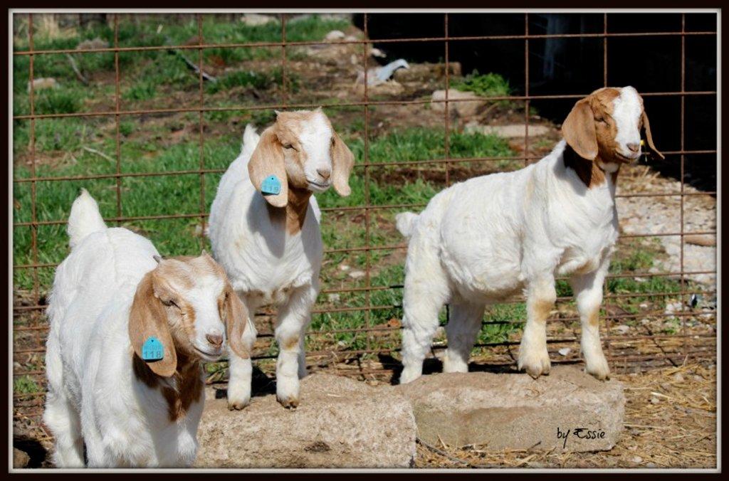 Three Billy Goats Gruff! by essiesue