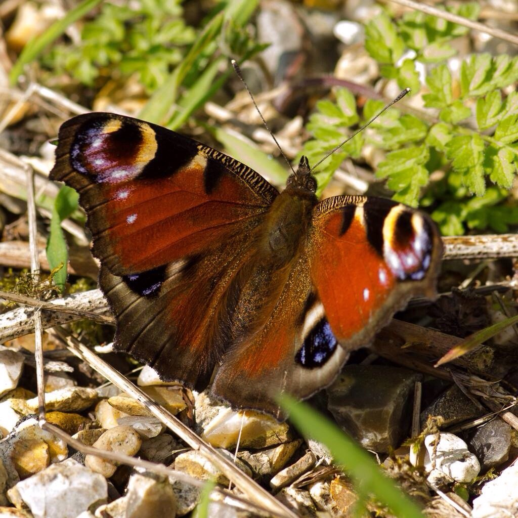 Peacock butterfly  by barrowlane