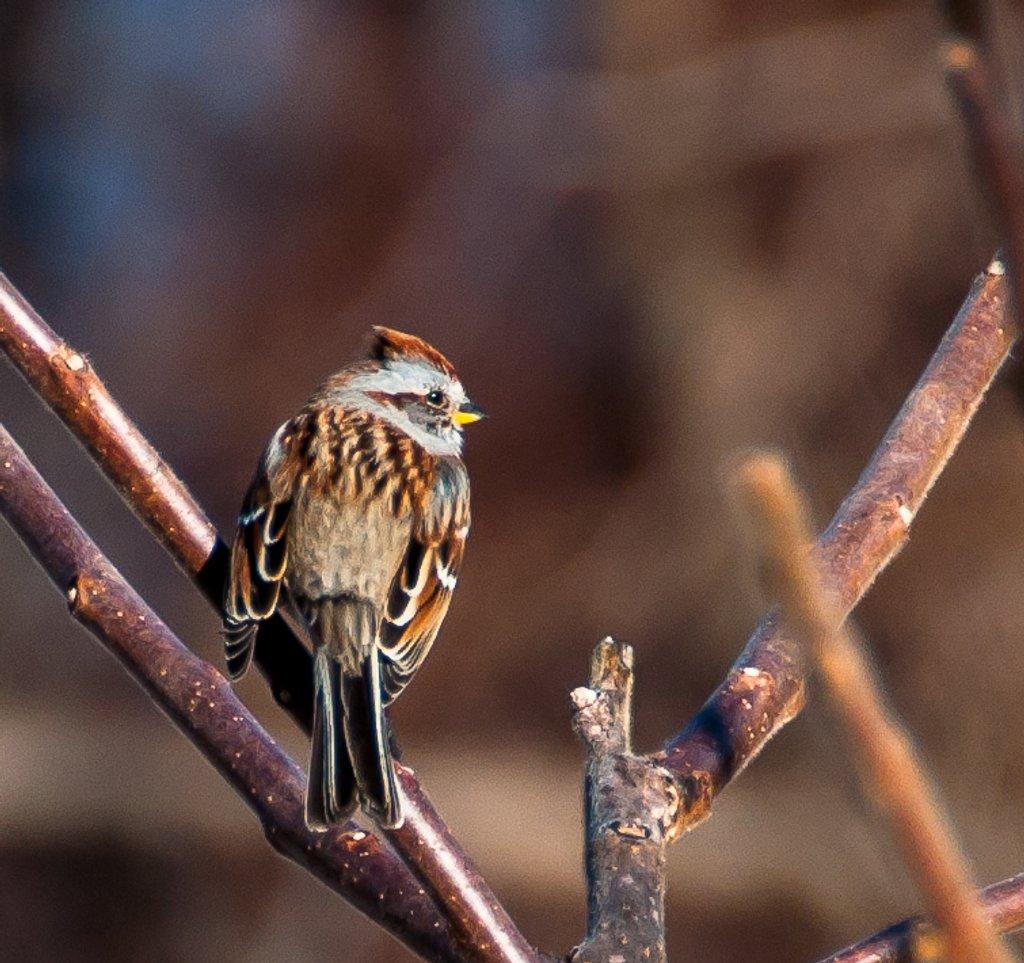 Tree Sparrow by joansmor