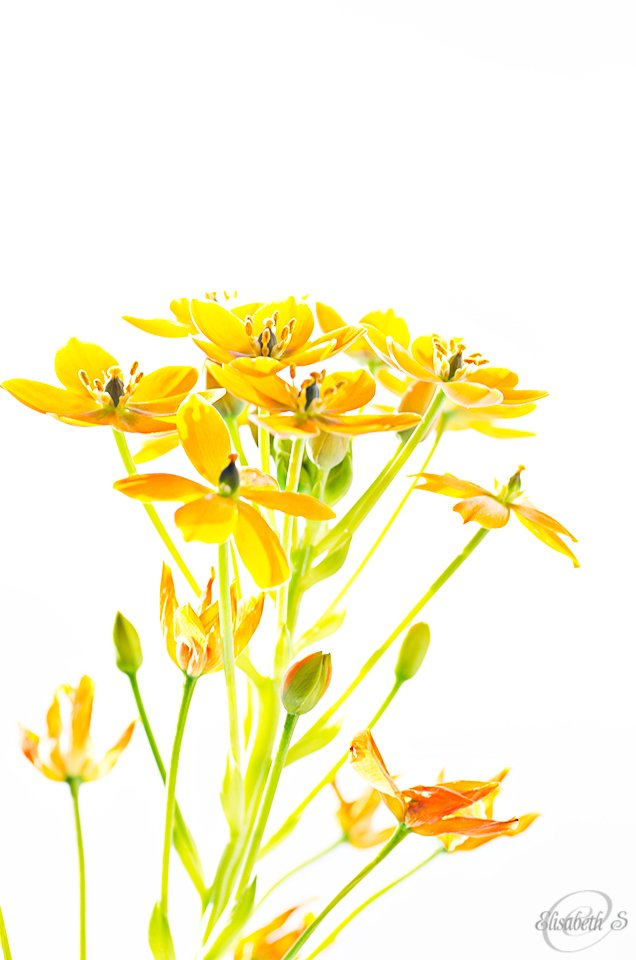 African lily in high key by elisasaeter