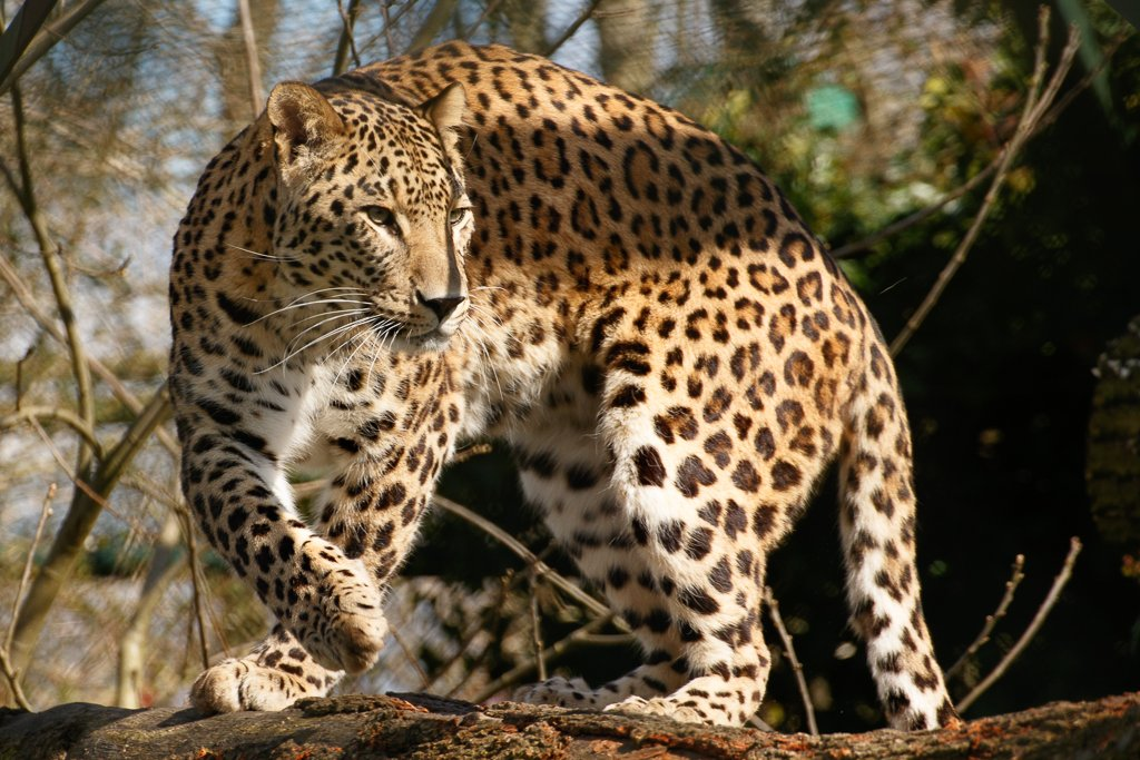 Leopard by leonbuys83