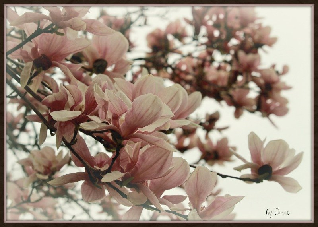 Magnolia Blossoms by essiesue