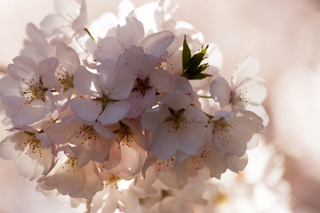 Cherry Blossom by shesnapped