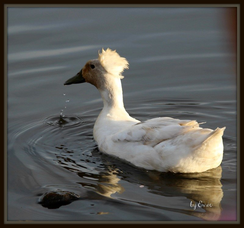 Duck With Mohawk! by essiesue