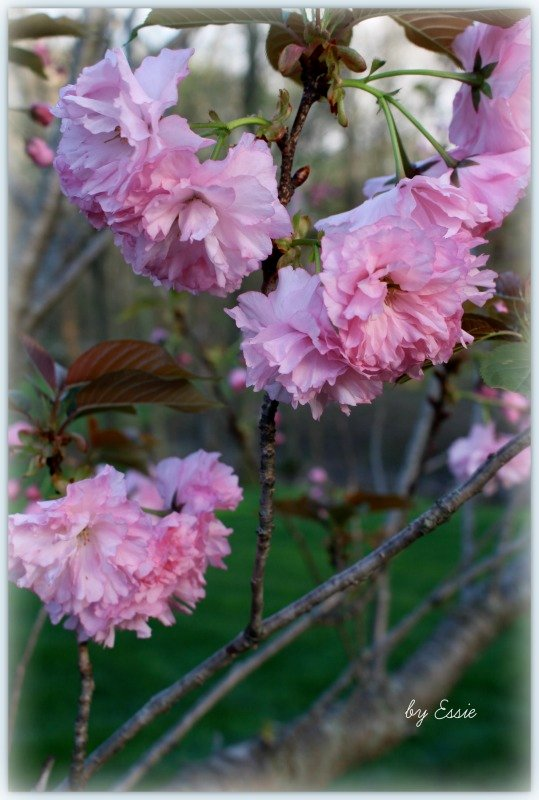 Our Crabapple Tree by essiesue