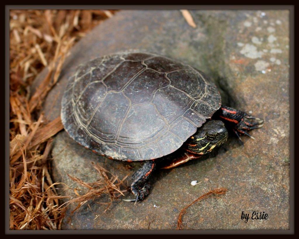 Turtle by essiesue