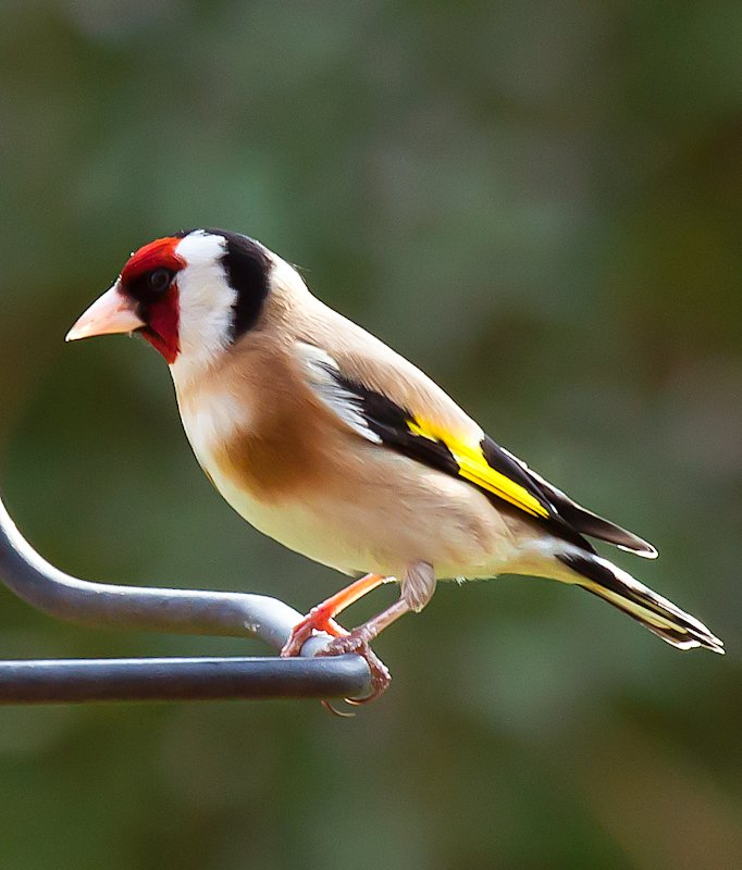 19th April 2015 - Goldfinch by pamknowler