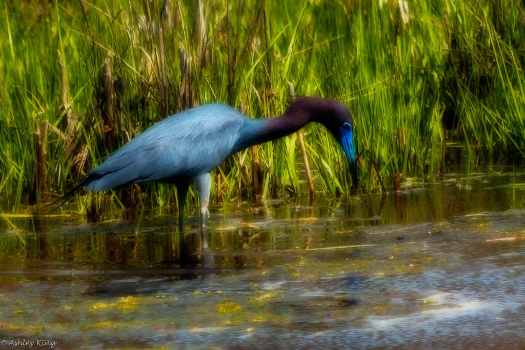 Artsy Little Blue Heron by shesnapped