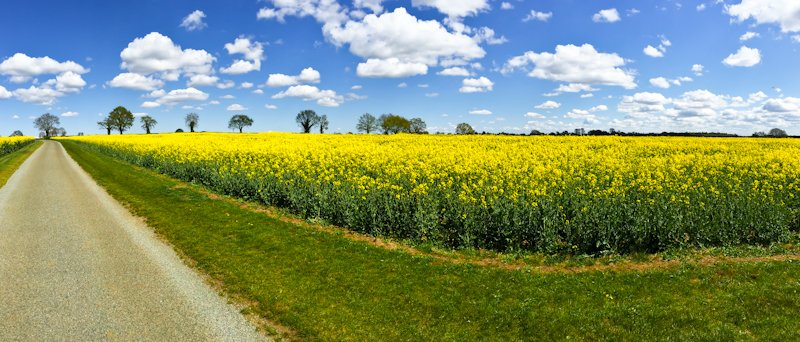 27th April 2015 - Yellow field Pano by pamknowler