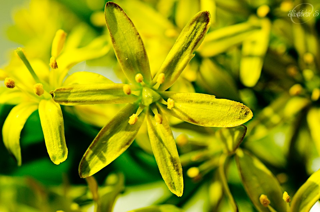 Yellow star-of-Bethlehem by elisasaeter