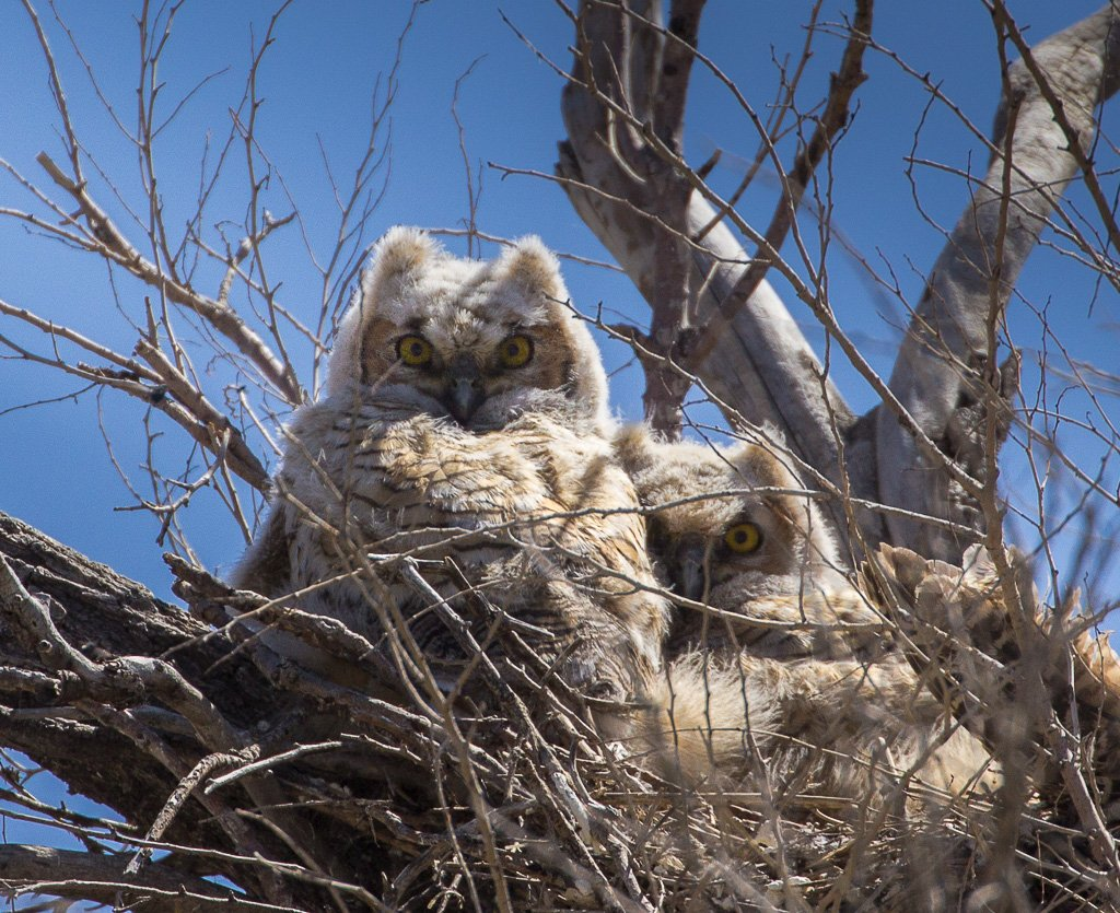 owlets by aecasey