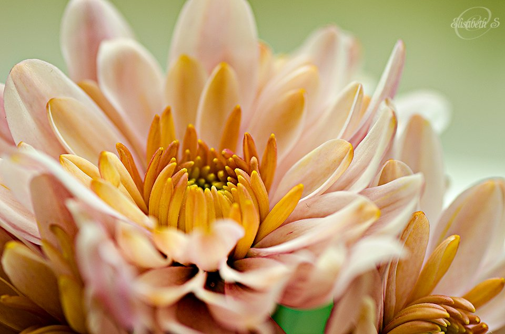 Closeup of my chrysanthemum by elisasaeter