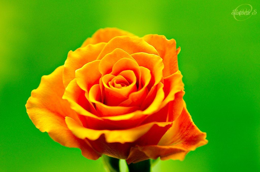 Orange rose by elisasaeter